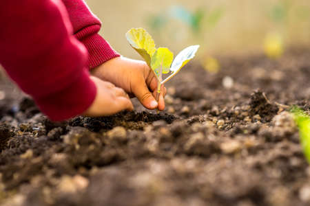 Person transplanting a fresh green young seedling into the ground conceptual of spring, gardening and plant or crop cultivation, low angle view of the hands and plant.