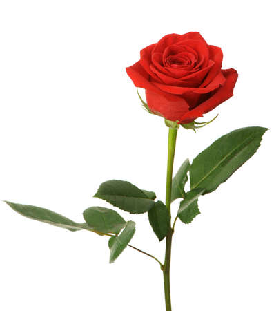 Red rose. It is isolated on a white background