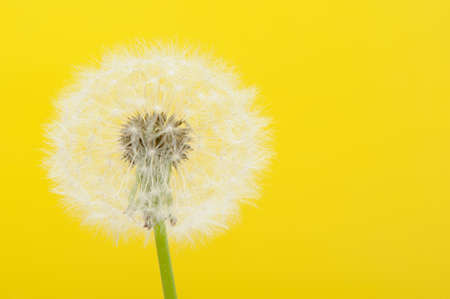 Dandelion on a yellow background. Detailed picture of a flower