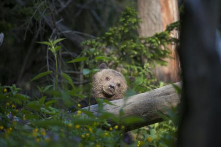bear cub in sun rays with paw on fallen tree looking away sad