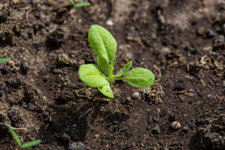 Photo pour Seedlings of radish and lettuce in a garden bed in a greenhouse, horizontal format - image libre de droit
