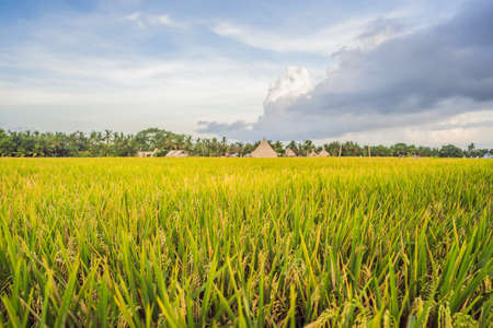 Photo for Rice field in sunrise time for background - Royalty Free Image
