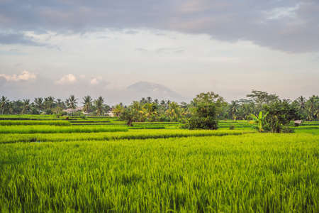 Photo pour Landscape with green rice fields, palm trees and Agung volcano at sunny day in island Bali, Indonesia. Nature and travel concept - image libre de droit