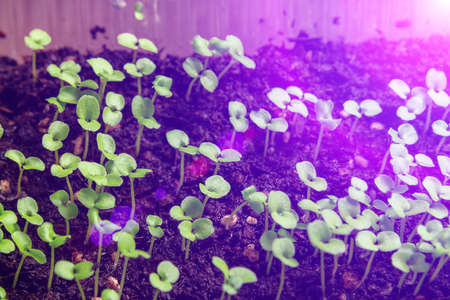 Photo pour Growing seedlings under special artificial LED lamps with a spectrum favorable for plants without sunlight - image libre de droit