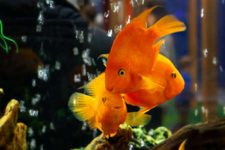 Photo for Goldfish swim in a large aquarium with green plants and air bubbles - Royalty Free Image