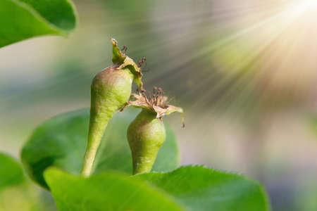 Foto für Small ovaries of pear on a tree branch in spring garden - Lizenzfreies Bild