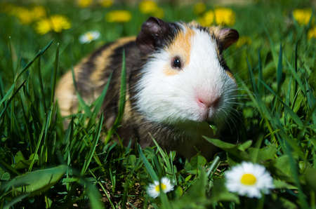 Funny guinea pig went for a walkの写真素材