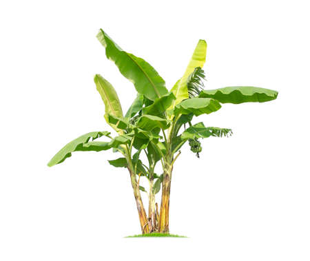 Photo pour Banana tree isolated on white background In addition, we will be eating banana. Other parts of the banana, we can also use it. - image libre de droit