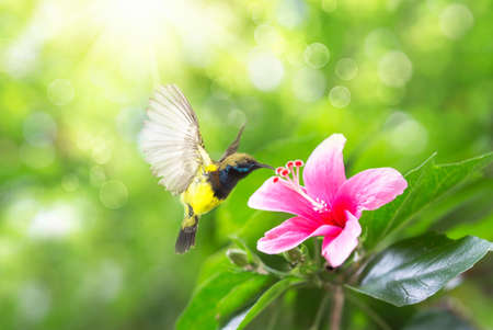Photo pour Beautiful flying Bird (Olive-backed Sunbird), beautiful bird flying and eating nectar from the flowers. Pink hibiscus flower on a green background. In the tropical garden. - image libre de droit