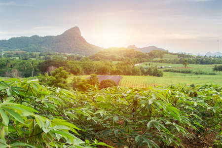 Photo pour row of cassava tree in field. Growing cassava, young shoots growing. The cassava is the tropical food plant,it is a cash crop in Thailand. This is the landscape of cassava plantation in the Thailand. - image libre de droit