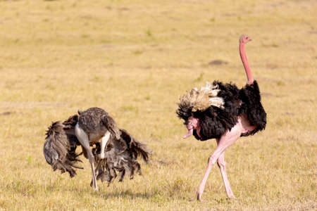 Photo pour Animal wildlife. Ostriches after making love. Masai Mara national park, Kenya, Africa - image libre de droit