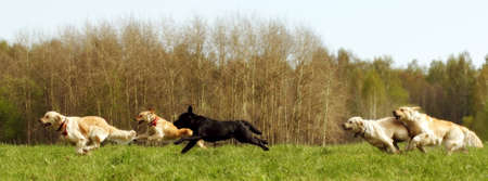 A large group of dogs retrievers running in the summer through the green valley