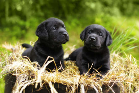 Photo pour two beautiful purebred black puppy dog Labrador sitting in the summer on the nature in the straw - image libre de droit