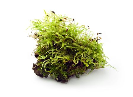 Moss isolated on the white background