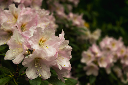 Rhododendron. Bright and juicy flowers on the rhododendron bush. Floral background with beautiful flowers.