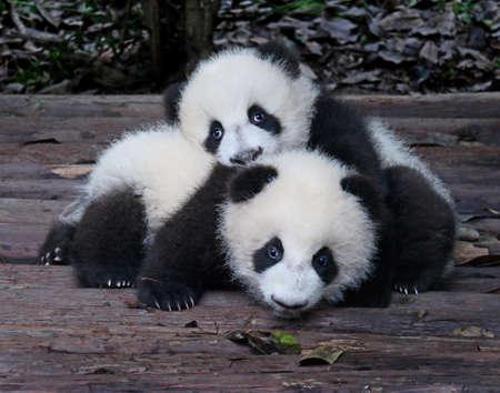 Foto de Baby Giant Pandas Playful and adorable at a zoo - Imagen libre de derechos