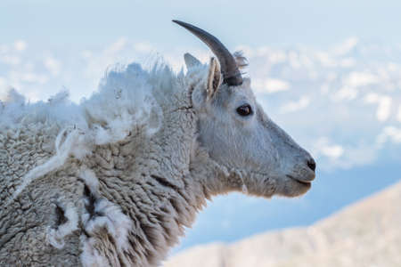 Photo pour Wild Mountain Goats Living on Colorado Mountain Peaks. - image libre de droit
