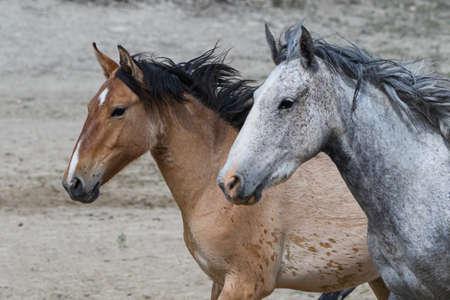 Photo pour Colorado Wild Mustang Horses At Sandwash Basin - image libre de droit