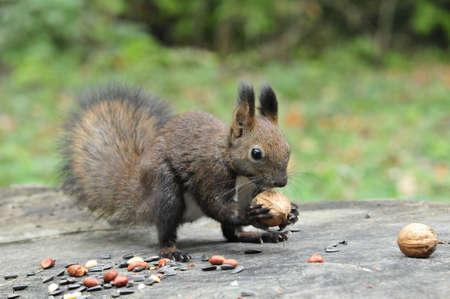 Dark brown squirrel. Squirrel gnaws walnut. Squirrel - a rodent of the squirrel family.
