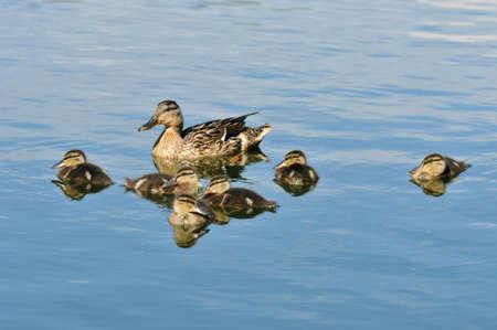 Mallard - bird of the duck family (Anatidae) detachment of waterfowl. Mallard female and ducklings.