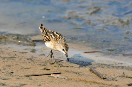 Little Bird Sandpiper looking for food on the shore of the river Kazanka. Kazan, Russia. The Baird's sandpiper (Calidris bairdii) is a small shorebird.