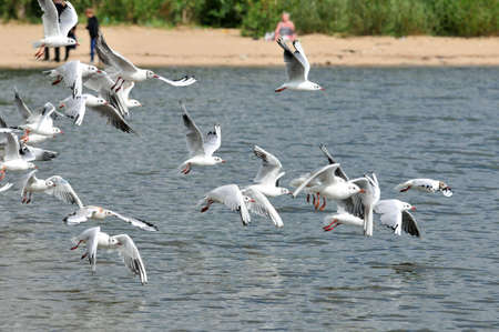 Young lake gulls take off from the bank of the Kazanka River. Kazan, Russia.