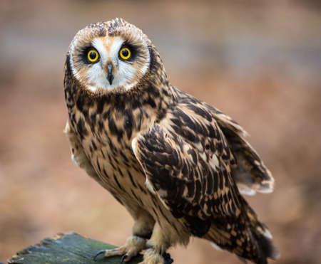 A portrait of a short eared owl on a spring day. Carolina Raptor Center, North Carolina