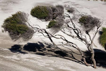 Foto de Manuka trees bent by the wind on New Zealand's west coast - Imagen libre de derechos