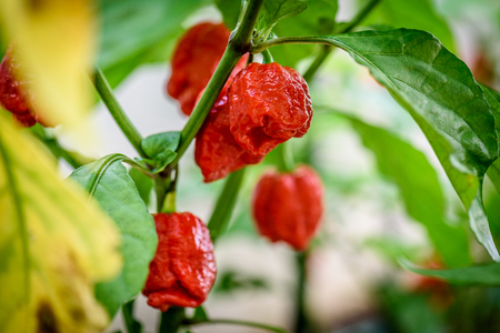 Foto de Red hot chilli pepper Trinidad scorpion on a plant. Capsicum chinense peppers on a green plant with leaves in home garden or a farm. - Imagen libre de derechos