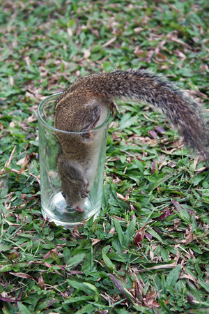 A tree squirrel drinking from a glass