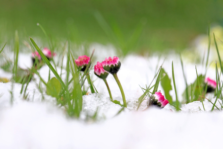 Photo for Daisies in the snow. Snowfall in spring - Royalty Free Image