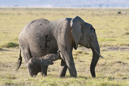 African elephant feeding by grass  while suckle her baby, Amboseli  National Reserve, Kenya