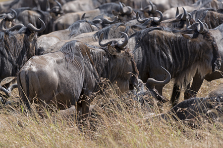 herd of white bearded wildebeest  Connochaetes tuarinus mearnsi  , closeup,  Maasai Mara National Reserve, Kenya