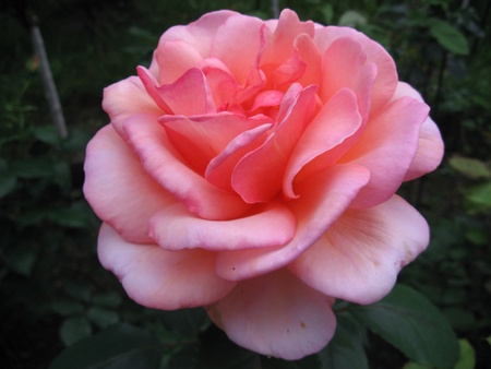 Photo for Rose dream - Royalty Free Image