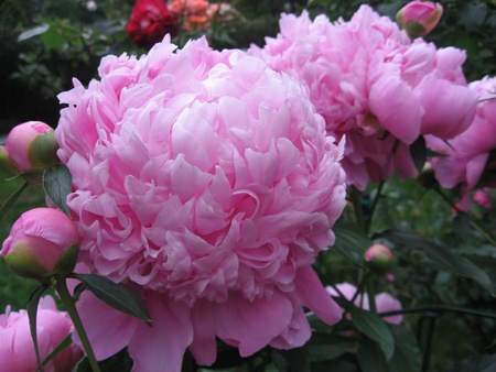 Photo for Peony - Royalty Free Image