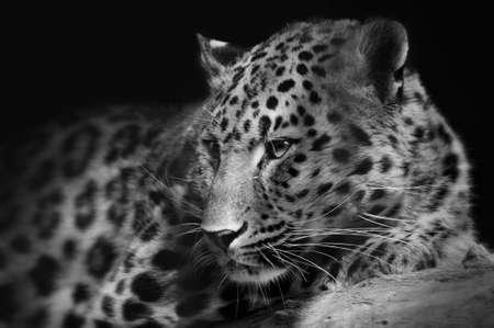 Photo pour Portrait of a lying leopard close-up on an isolated black background - image libre de droit