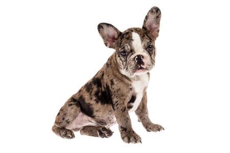 Photo pour Tender mascot - french bulldog merle baby, photo on white background. - image libre de droit