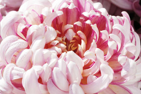 Closeup shoot petals of pink chrysanthemum