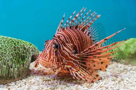 Photo pour Lionfish (Pterois volitans) in water - image libre de droit
