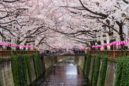 Photo pour TOKYO, JAPAN - MARCH 29, 2019: Cherry blossom festival in full bloom at Meguro River . Meguro River is one of the best place to enjoy it - image libre de droit