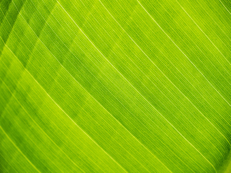 Foto de green banana leaf close up - Imagen libre de derechos