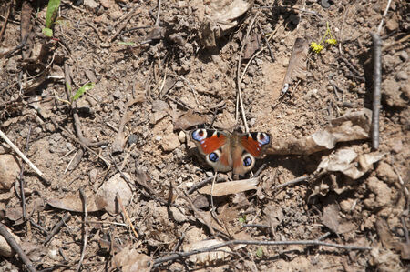 butterfly peacock sitting on the ground