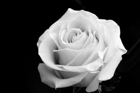 white rose on the black background