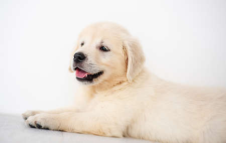 Photo for Lovely golden retriever puppy indoors - Royalty Free Image