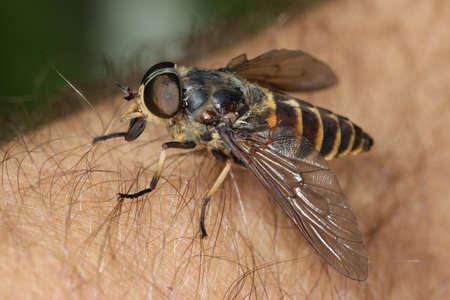 Photo for Gadfly, Tabanus bovinus on the human skin - Royalty Free Image