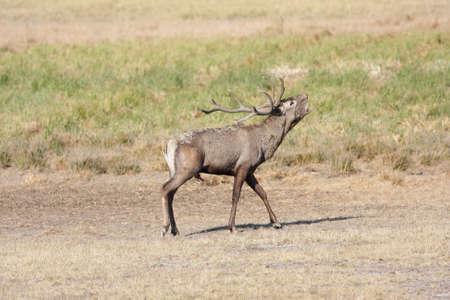 Foto de Roaring red deer Cervus elaphus in rutting season on the meadow - Imagen libre de derechos