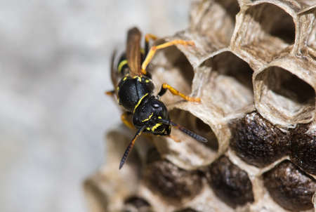 Photo for loseup of Paper wasp, Polistes dominula and big nest - Royalty Free Image
