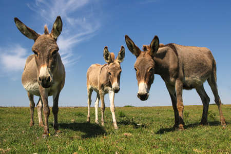 Three funny curious donkeys is staring in the pasture