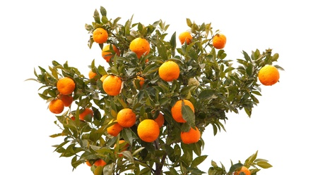 Beautiful tree filled with mandarin fruit isolated on white background