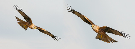Foto per Awesome birds of prey in flight with the sky of background - Immagine Royalty Free
